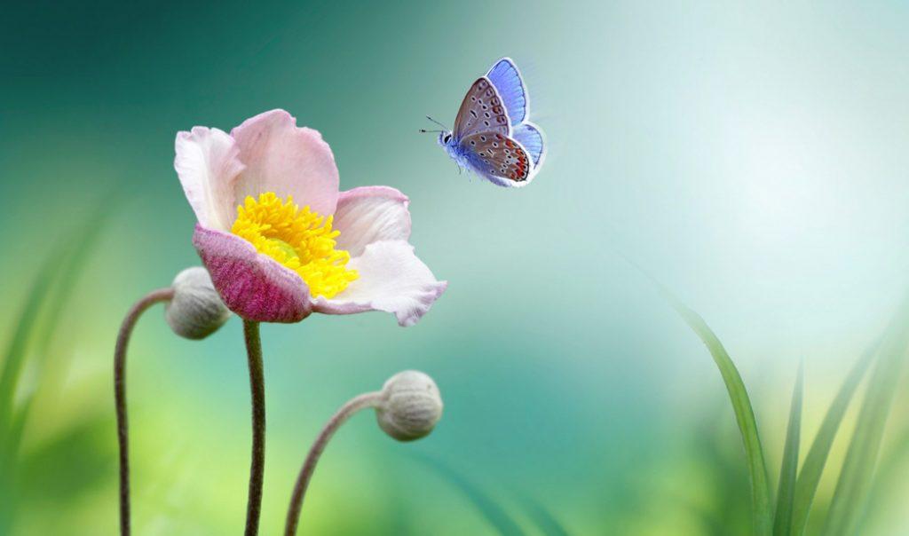 خلفيات طبيعية وردة وفراشة